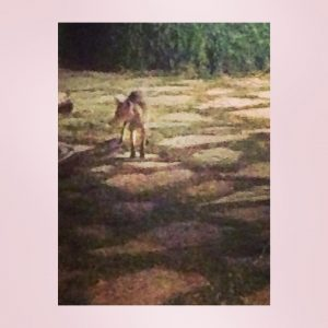 Last night this little desert fox !!! Payed us ahellip