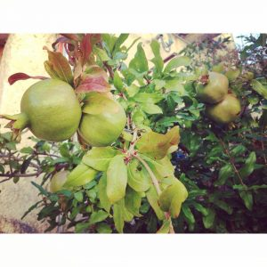 Pomme granate growing in the wild Sicily travel food goodfoodhellip